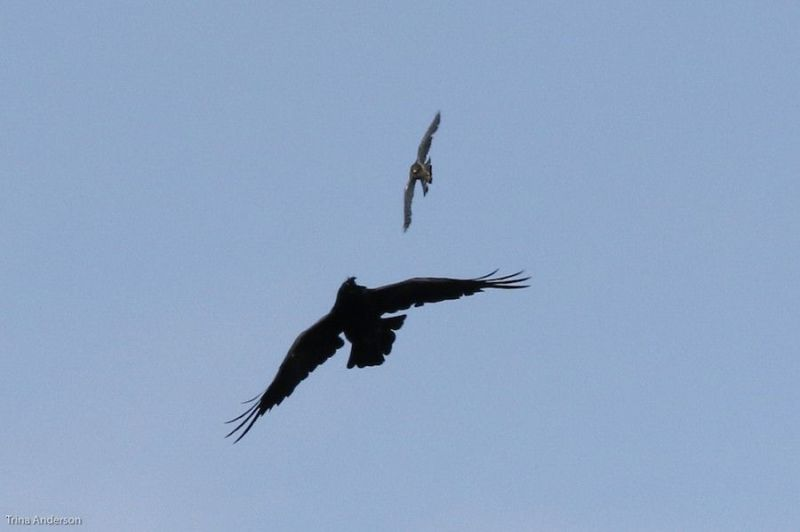 Merlin attacks a corvid, Renews, NL, 10 July 2018 (photo by Trina Anderson)