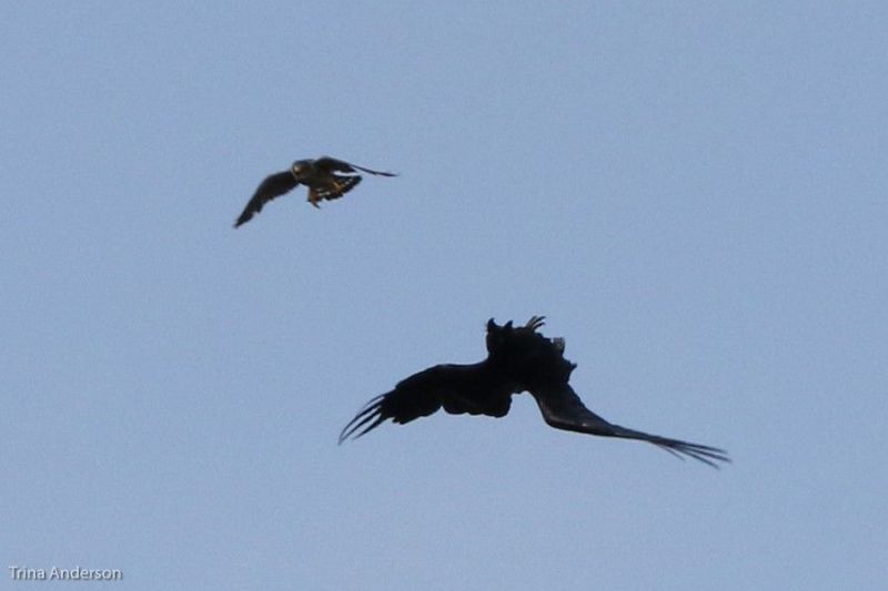 Merlin attack! Raven flips upside down, Renews, NL, 10 July 2010 (photo by Trina Anderson)