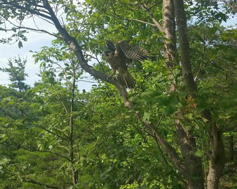 Elizabeth Bridge peregrine fledgling just after release at cliffside nest site 06-25-18 (photo courtesy David Barber)