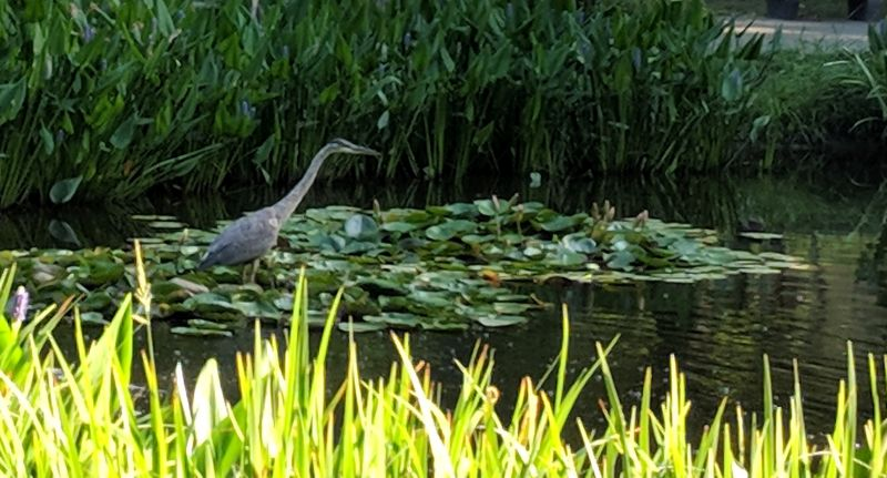 Young great blue heron fishing in Westinghouse pond, Schenley park, 29 July 2018 (photo by Kate St. John)