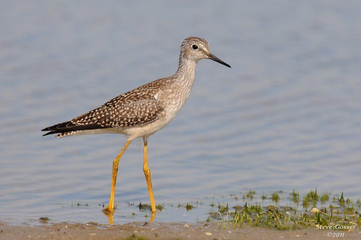 Lesser yellowlegs, July 2013 (photo by Steve Gosser)