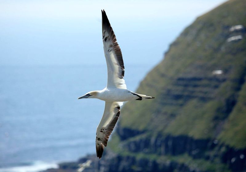 Northern gannet in flight, Cape St. Mary's, NL (photo from Wikimedia Commons)