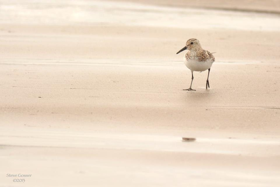 Sanderling on sand, July 2013 (photo by Steve Gosser)