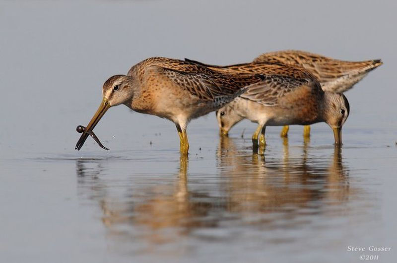 Short-billed dowitchers, July 2013 (photo by Steve Gosser)