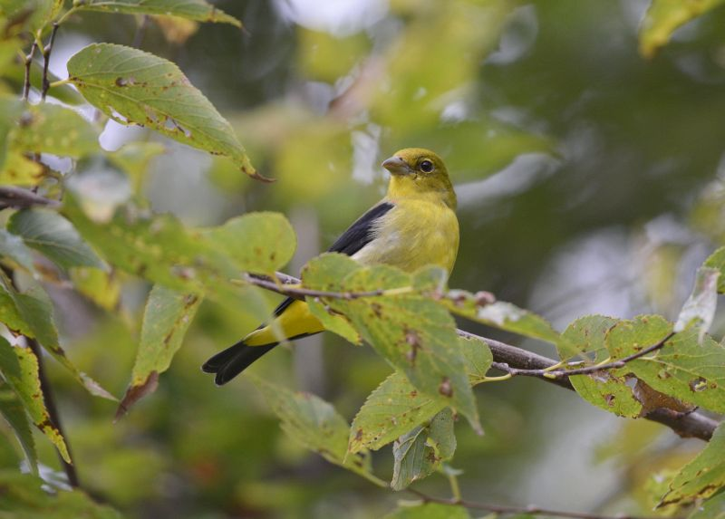 Scarlet tanager in October 2015 (photo by Andy Reago & Chrissy McClarren via Flickr, Creative Commons license)