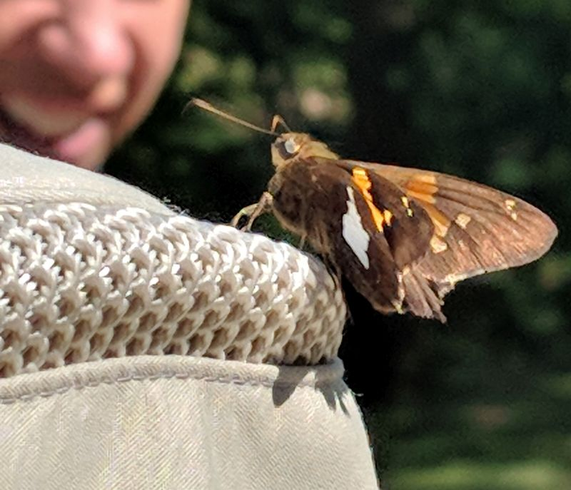 Silver spotted skipper on my hat, Schenley park, 29 July 2018 (photo by Peter Bell)