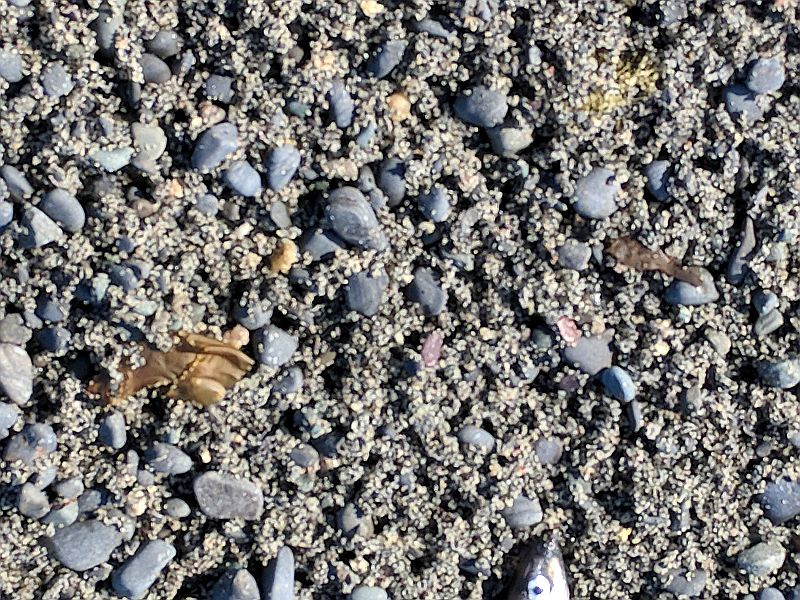 The rocky sand is full of capelin eggs, Witless Bay, 10 July 2018 (photo by Kate St. John)