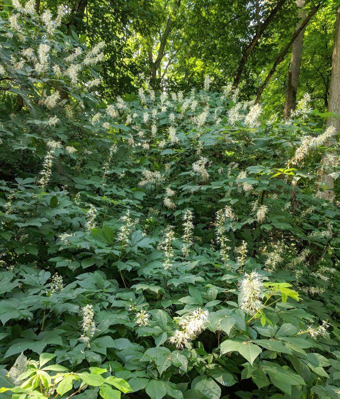 Bottlebrush buckeye bushes in bloom, Schenley Park, 3 July 2018 (photo by Kate St. John)