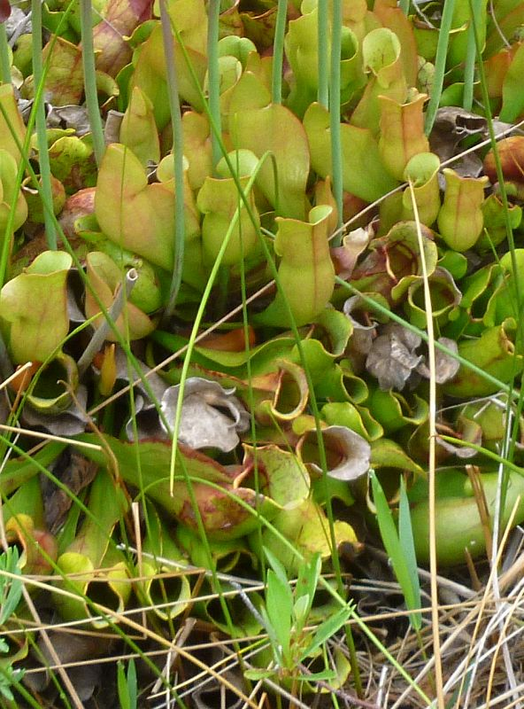 Pitchers of a pitcher plant at the Bruce Peninsula, Ontario (photo by Dianne Machesney)