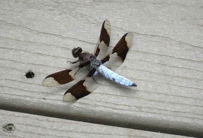 Common whitetail dragonfly, Huntley Meadows Park, VA (photo from Wikimedia Commons)