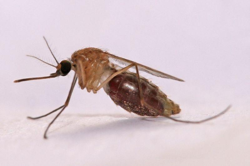 Anopheles gambiae Mosquito, vector for malaria (photo by Muhammad Mahdi Karim via Wikimedia Commons)