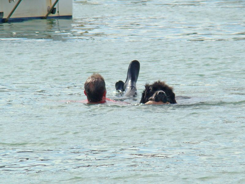 "Sea rescue ""handholding"" exercise performed by a Newfoundland dog at the port of Ploumanach, France (photo from Wikimedia Commons)"
