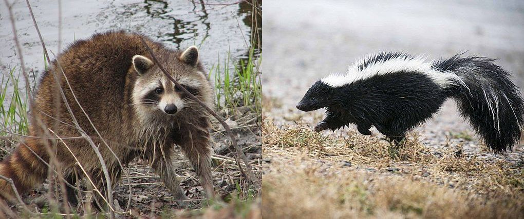 Raccoon and skunk (photos from Wikimedia Commons)