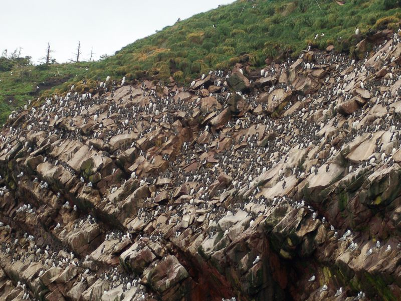 Murre colony on Gull Island, Witless Bay, NL (photo from Wikimedia Commons)
