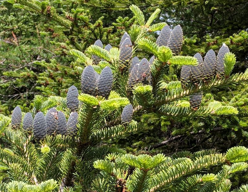 Balsam cones, La Manche Trail, Newfoundland, July 2018 (photo by Kate St. John)