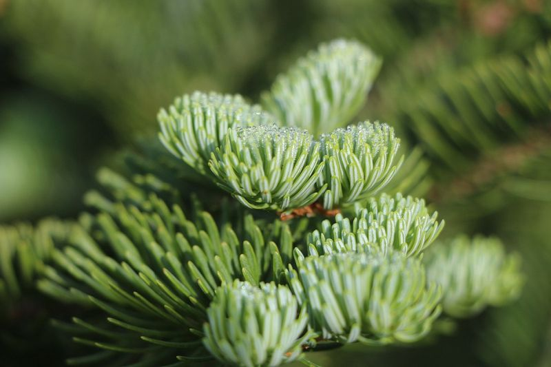 Morning dew on balsam fir needles (photo from Wikimedia Commons)