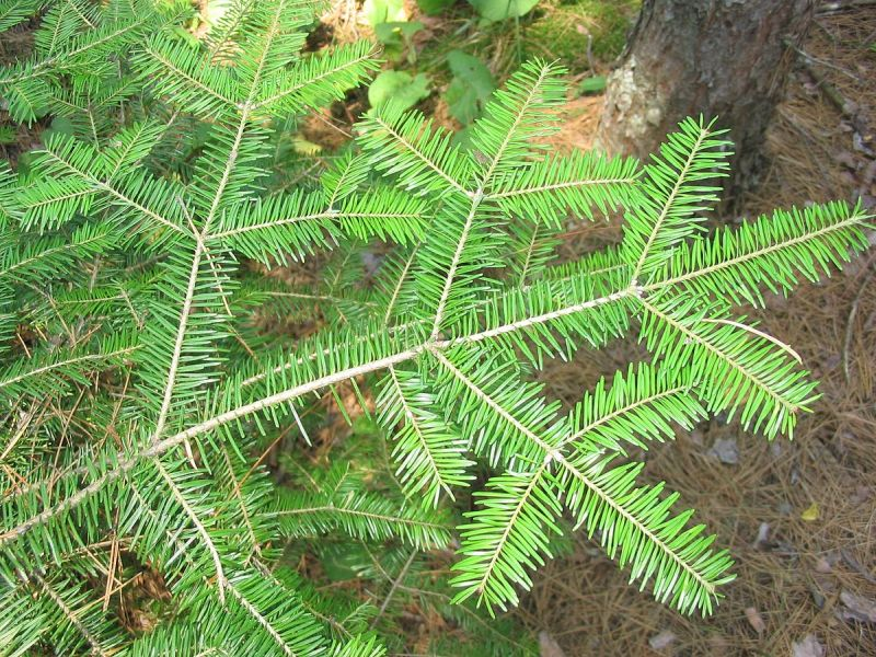 Balsam fir, symmetrical flat lower branch (photo from Wikimedia Commons)