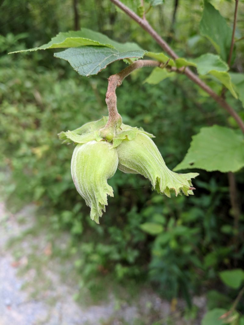 American hazelnuts, Schenley Park, July 2018 (photo by Kate St. John)