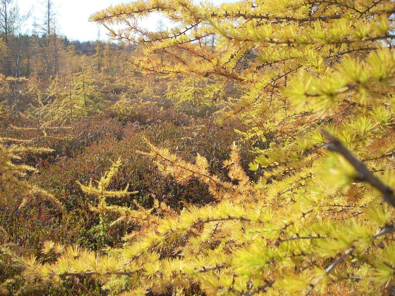 Tamarack in autumn (photo from Wikimedia Commons)