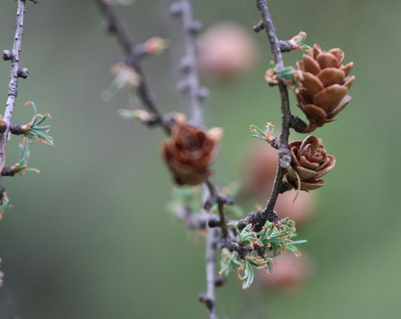 Mature tamarack cones in spring with young foliage (photo from Wikimedia Commons)