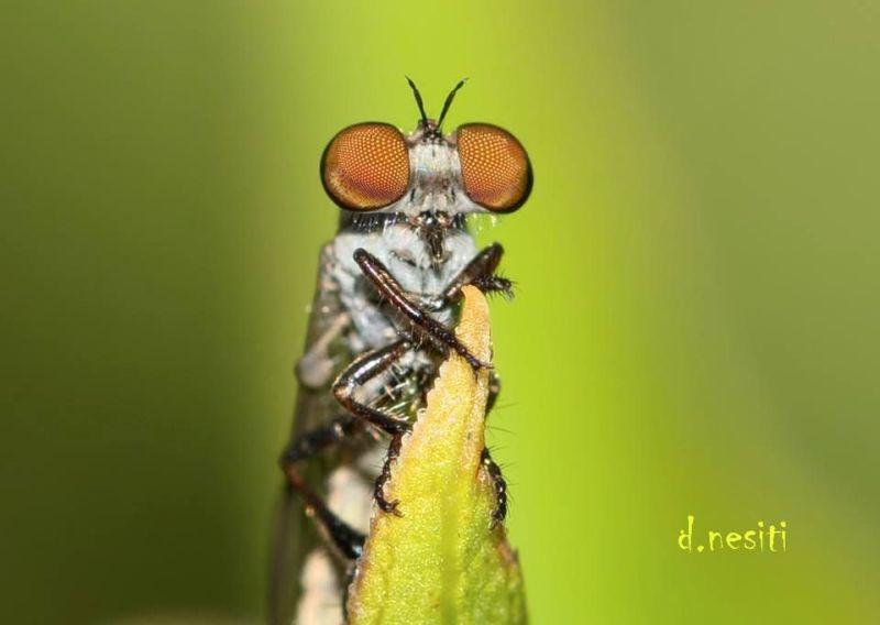 Big eyes on Holcocephala fusca (photo by Dana Nesiti)