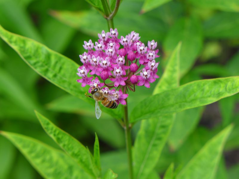 Swamp milkweed with a bee, Jennings (photo by Kate St. John)