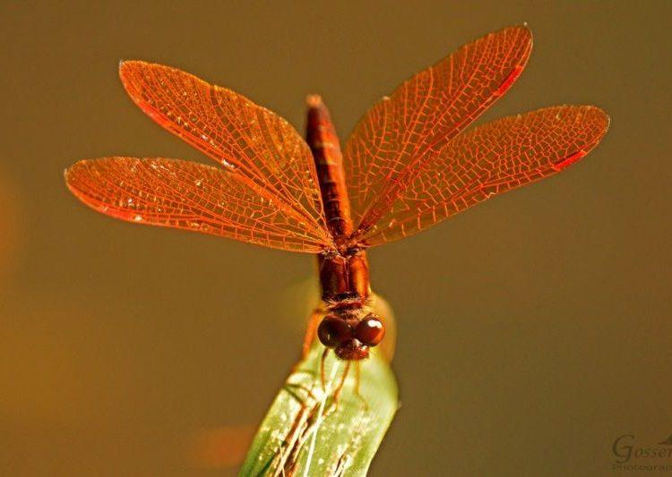 Amberwing dragonfly (photo by Steve Gosser)