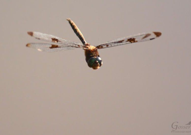 Freeze frame dragonfly in flight (photo by Steve Gosser)
