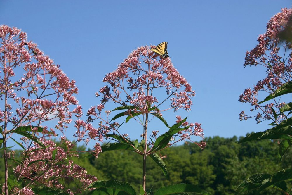 Joe-pye weed with tiger swallowtail, Jennings (photo by Kate St. John)