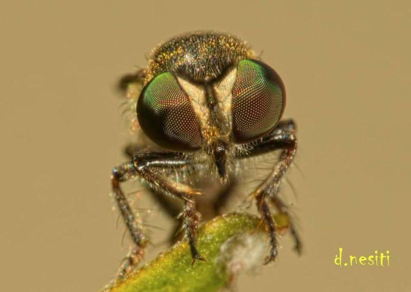 Robber fly eyes (photo by Dana Nesiti)