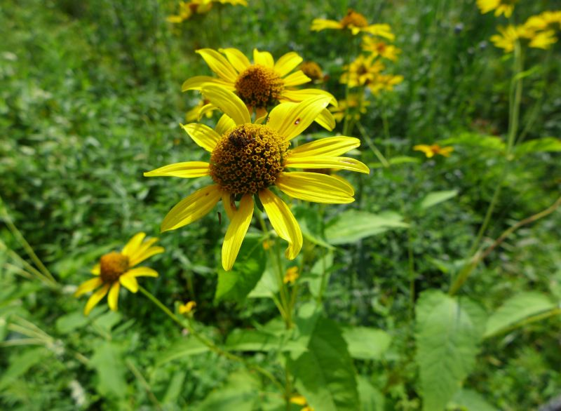 Oxeye or false sunflower, Jennings, 4 Aug 2018 (photo by Kate St. John)
