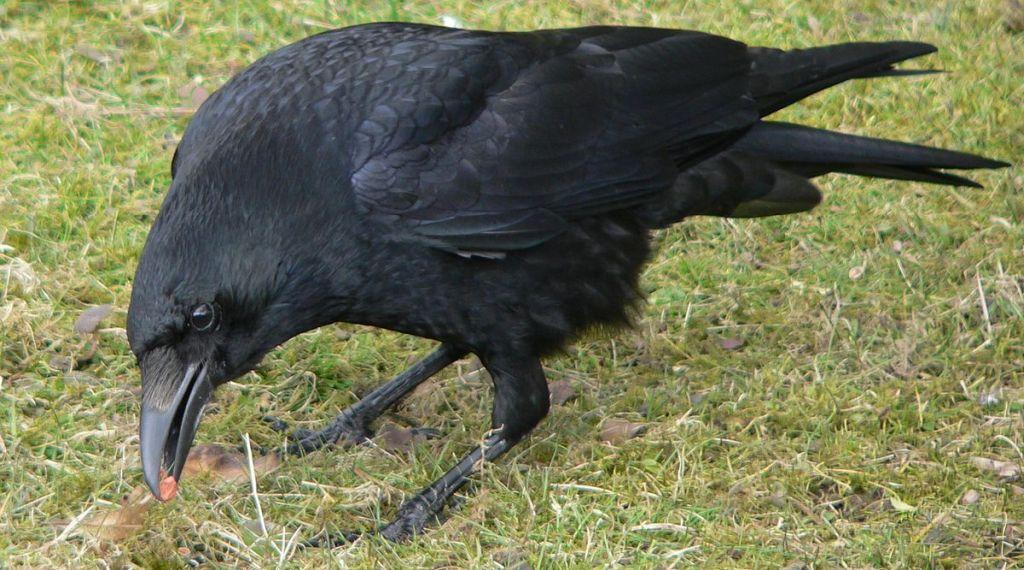 Ворон – птица, питающаяся отбросами и падалью, нередко местом обитания этих пернатых становится кладбище.