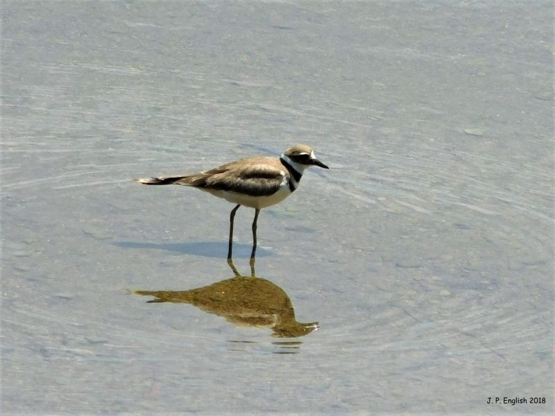 Killdeer at Duck Hollow, July 2018 (photo by John English)