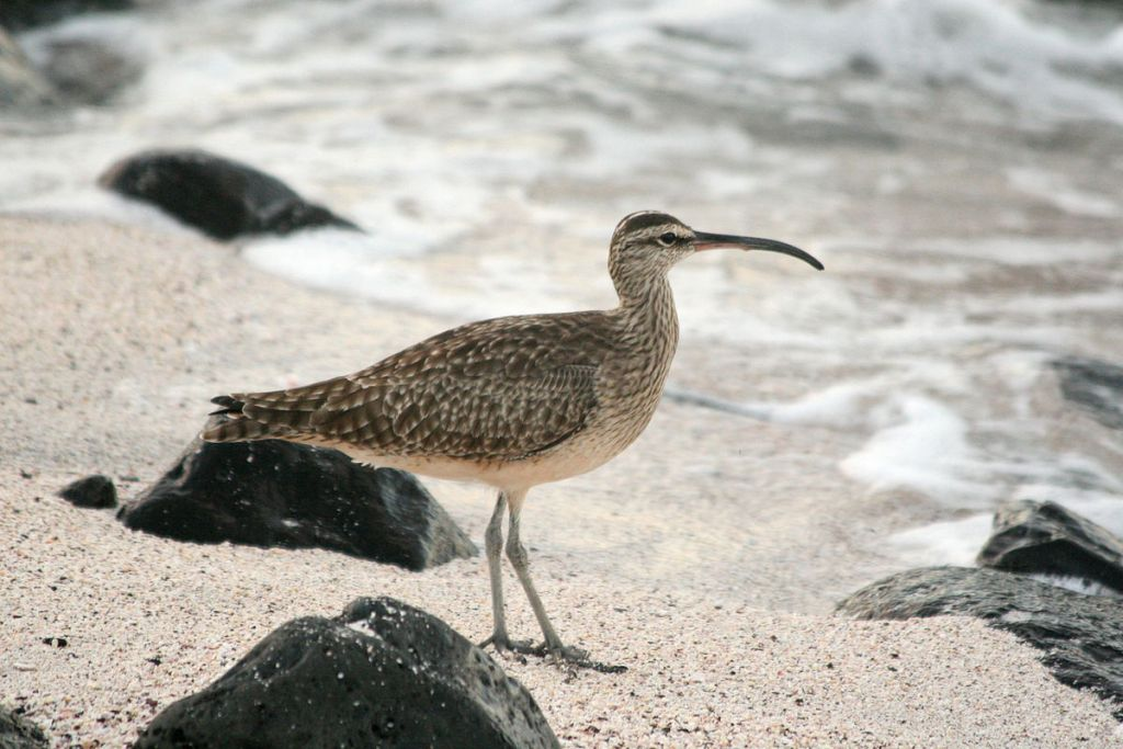 Whimbrel at Galapagos, Ecuador (photo from Wikimedia Commons)