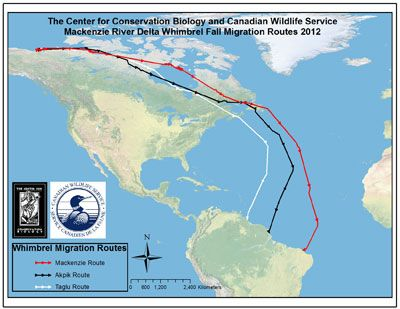 Whimbrels' transoceanic flights from Mackenzie Delta to South America (map from Center for Conservation Biology, August 2012)
