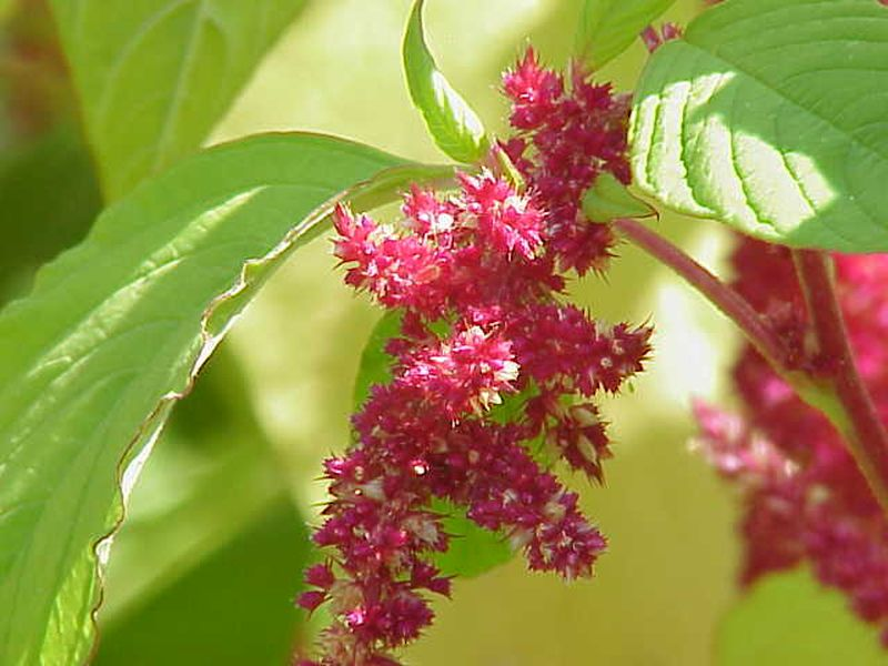 Red amaranth flowers (photo from Wikimedia Commons)