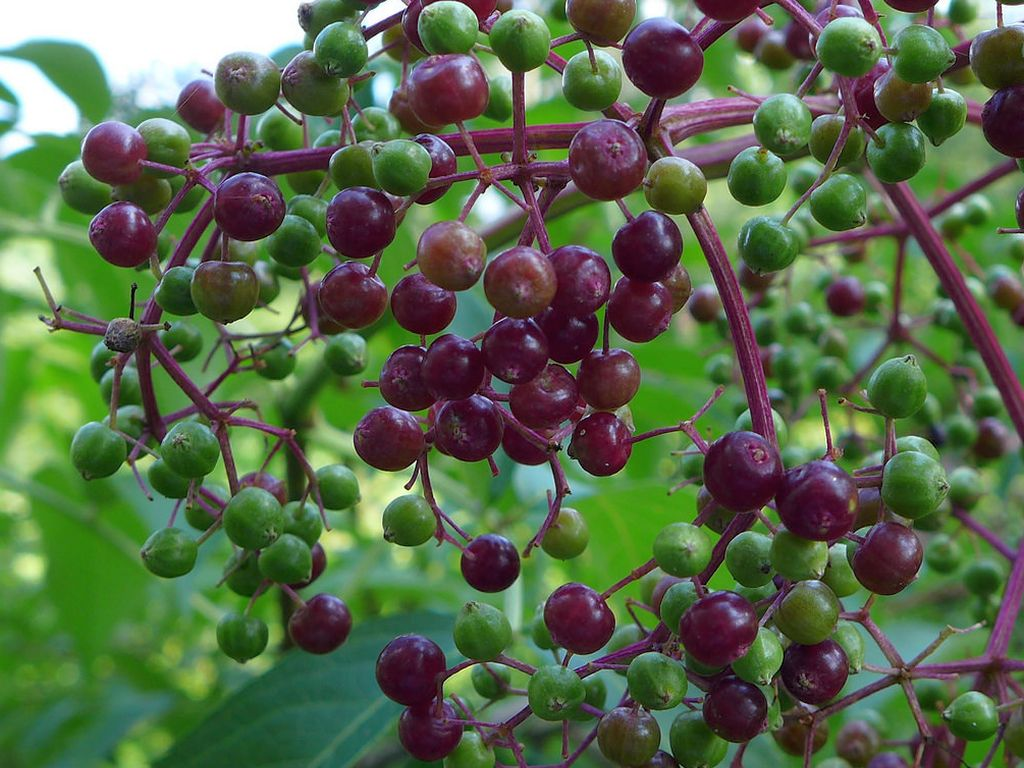 Elderberries at Jennings, 4 Aug 2018 (photo by Kate St. John)