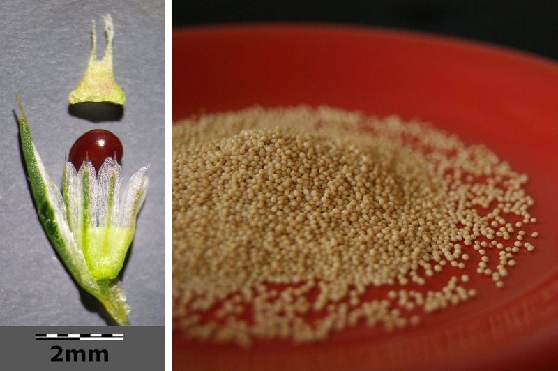 Fruit with seed; amaranth grain (photos from Wikimedia Commons: fruit, grain)