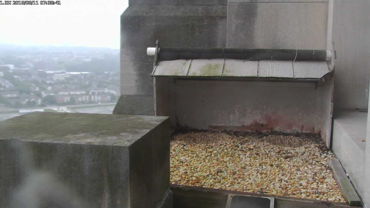 Gulf Tower nestbox, 11 Aug 2018 (photo from the National Aviary falconcam at the Gulf Tower)