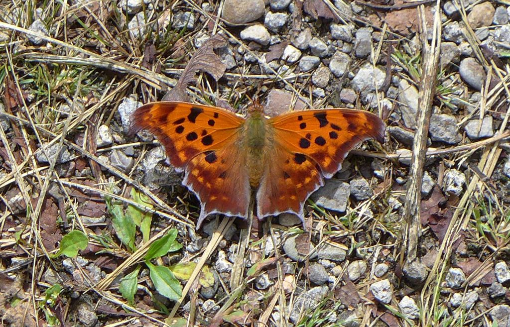 Question mark butterfly dorsal view (photo by Kate St. John)