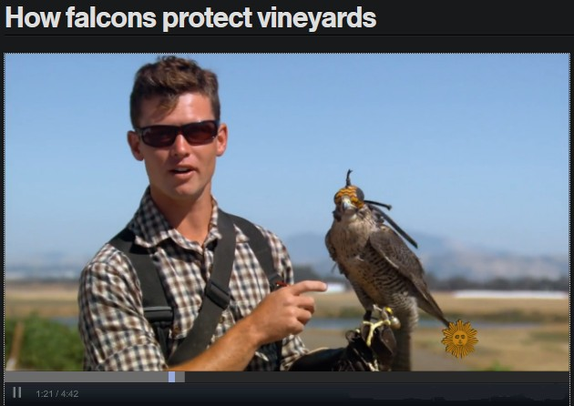 How Falcons Protect Vineyards (screenshot from CBS)
