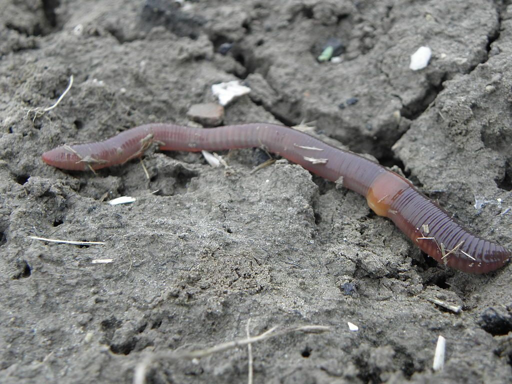 Invasive Jumping Worms | Outside My Window