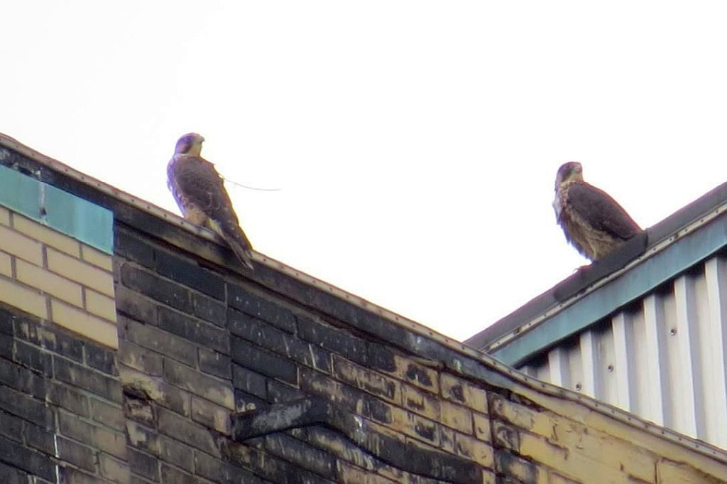 Peregrines | Outside My Window